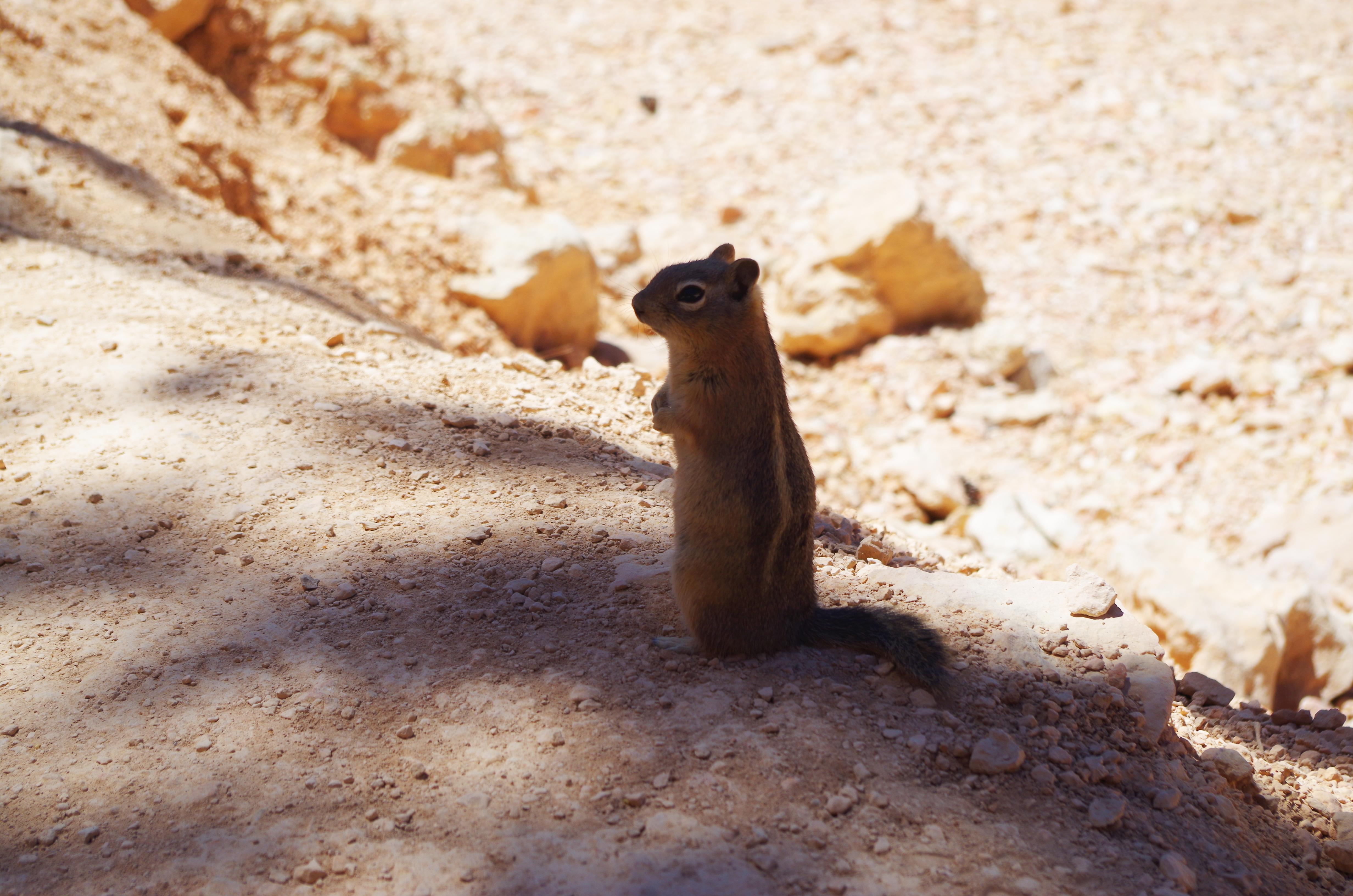 Auf den Trails im Bryce Canyon begegnen Euch regelmäßig diese niedlichen Chipmunks, die alles andere als scheu sind.