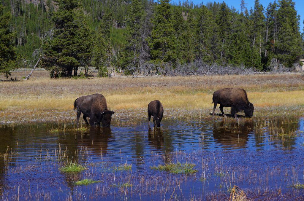 Bisons in freier Wildbahn im Yellowstone
